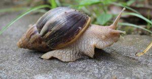african-snail-og